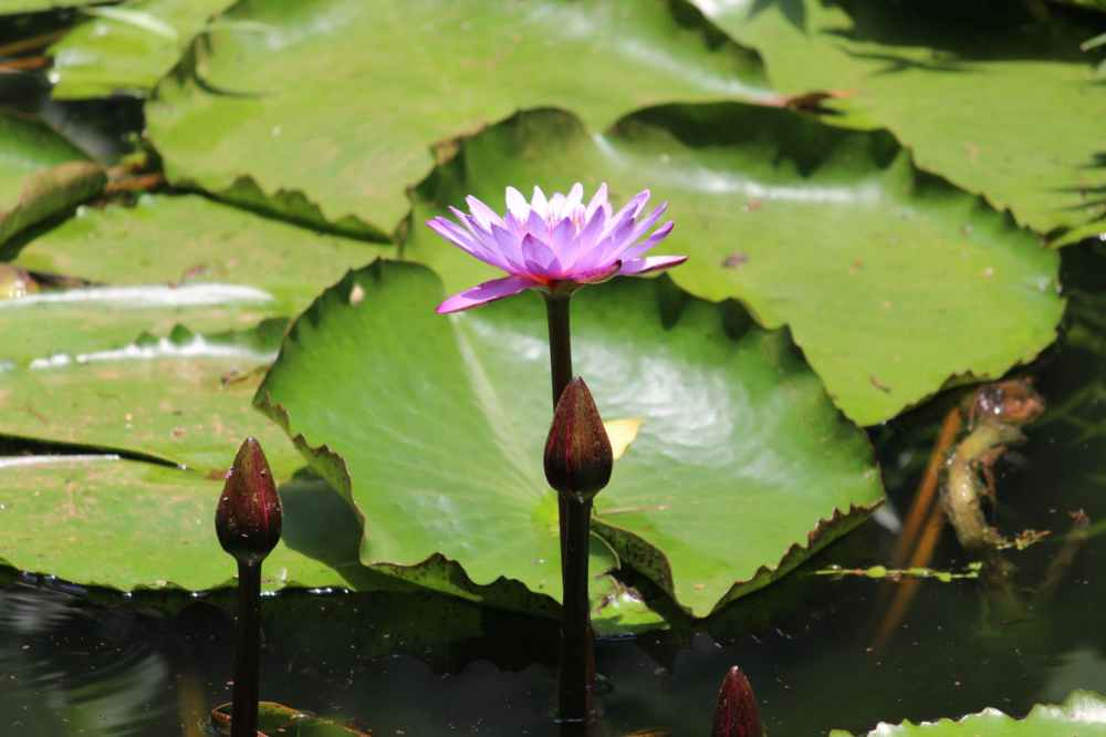 close up photography of purple water lily in bloom
